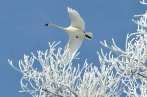 текст песни «Белая лебедь»